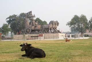 Kühe sind in Indien omipräsent: Kurukshetra, Haryana