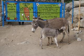 Esel-Aufzucht in Leh