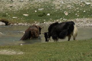Yaks bei der Bachdurchquerung