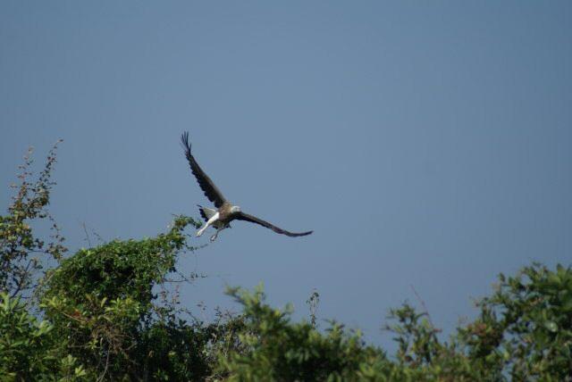 Im Prek Toal Bird Sanctuary -Adler auf der Flucht vor den 05ern!