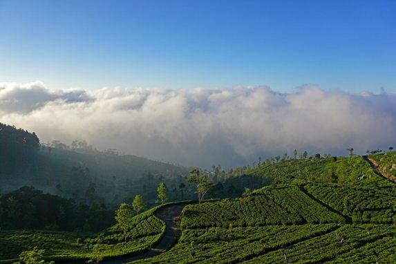 Tee-Plantagen im Zentrum von Sir Lanka