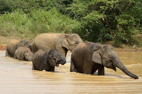 Elefanten im Udawalawe Nationalpark im Süden von Sri Lanka