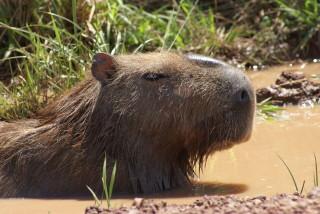 Unser Lieblingstier: ein Capybara