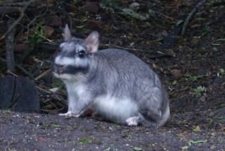 """""""Schlafstörer"""": Viscacha"""