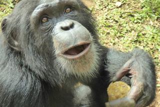 """Zu Besuch bei """"Somebody"""" unserem Adoptiv-Schimpansen-Kind"""