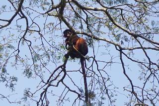 Ein roter Colobus-Affe beobachtet uns beim Waldspaziergang