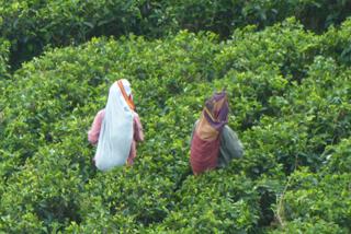 Tee-Pflückerinnen auf Sri Lanka